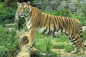 Panthera tigris tigris, Bengal Tiger, Indische...
