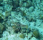 Panulirus argus - Caribbean spiny lobster - Bay of Pigs - Cuba.jpg