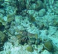 Panulirus argus - Caribbean spiny lobster - Bay of Pigs - Cuba.jpg