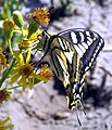 Papilio machaon side view.JPG