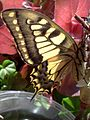 Papilio machaon wings.jpg