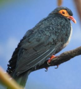 Papuan Mountain Pigeon 3