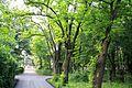 Parcul Copou (alee cu salcâmi) (spre strada Aurora).jpg