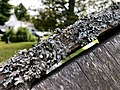 Parmelia sulcata 92901582.jpg