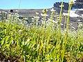 Parnassia fimbriata (29099148372).jpg