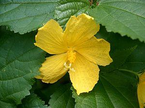 Pavonia (plant) - Image: Pavonia spinifex 1