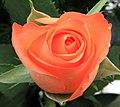 Peach Rose 1 (3351774506).jpg