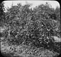 Peach tree with fruit (3708639080).jpg
