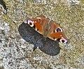 Peacock Butterfly (26002099616).jpg