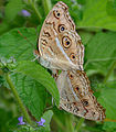 Peacock Pansy (Junonia almana) mating in Narshapur, AP W IMG 1129.jpg