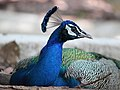 Peacock from Mysore zoo IMG 7910.jpg