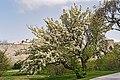 Pear tree in bloom by Visby City Wall, Gotland 4.jpg