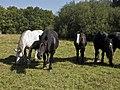 Percherons(Elevage des grandes landes)Mr Réveille Jean-Paul-1-cliche Jean Weber (24057301556).jpg