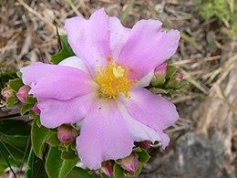 Pereskia grandiflora flower