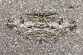Peribatodes.rhomboidaria.7504.jpg