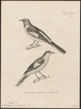 Pericrocotus miniatus - 1700-1880 - Print - Iconographia Zoologica - Special Collections University of Amsterdam - UBA01 IZ16500391.tif