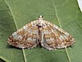 Perizoma flavofasciata - Sandy rivulet - Ларенция марьянниковая (40063881245).jpg