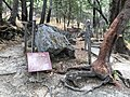 Petrified Redwood - Sequoia langsdorfii, Metasequoia - 12.jpg