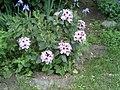 PflanzenMai06-005.JPG
