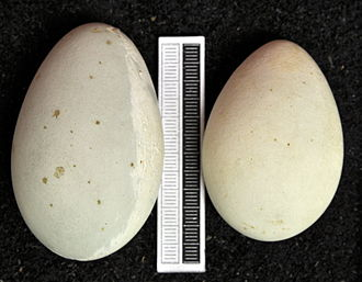 Double-crested cormorant - Eggs, Collection Museum Wiesbaden