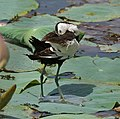 Pheasant-tailed Jacana (Hydrophasianus chirurgus)- Breeding- preening after bath in an Indian Lotus (Nelumbo nucifera) Pond in Hyderabad, AP W IMG 7876.jpg