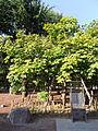 Phoenix Trees (China Parasol Trees) Exposed to the A-bomb 20131013-3.JPG