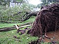 Photo of the Week - Tree uprooted by Hurricane Irene (NJ) (6102627797).jpg