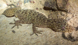 Phyllurus platurus.jpg