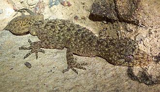 Phyllurus - Broad-tailed gecko (Phyllurus platurus)