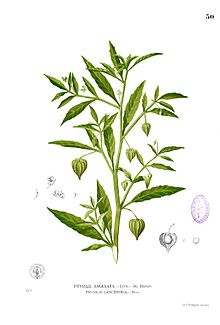Physalis angulata Blanco1.50.jpg