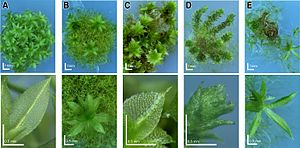 Gene knockout - Image: Physcomitrella knockout mutants