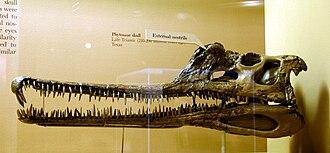 Phytosaur - Phytosaur skull