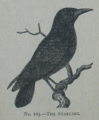 Picture Natural History - No 103 - The Starling.png