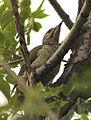 Picus viridis sharpei 102.jpg