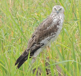 Pied Harrier (Female).jpg