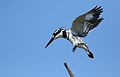 Pied Kingfisher, Ceryle rudis, at Pilanesberg National Park, South Africa (28475607645).jpg