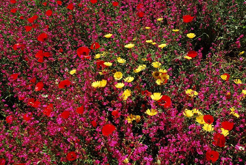 פריחת פרחי בר