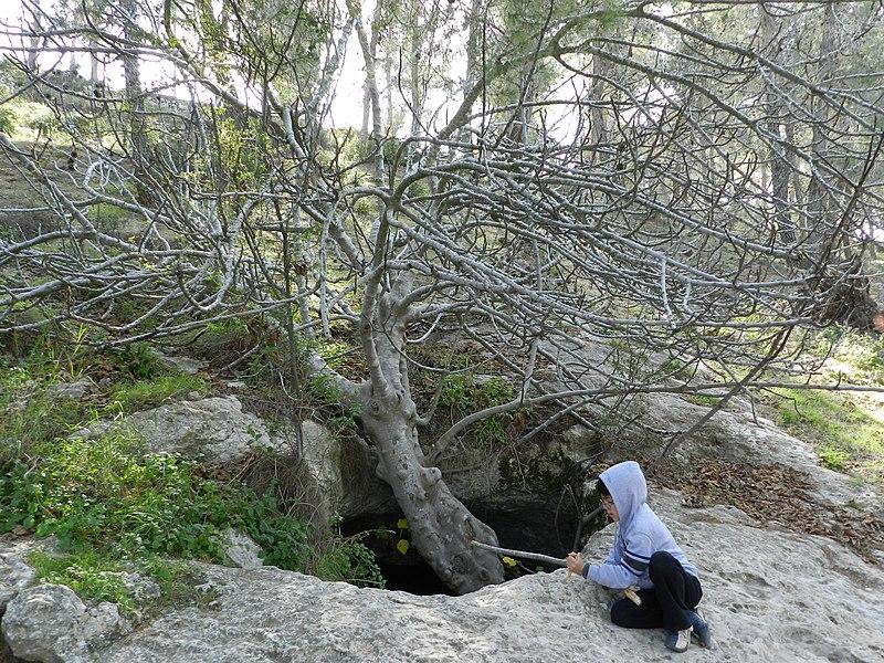 עץ תאנה בפתח מערה ביער ירושלים