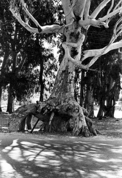 עץ אקליפטוס