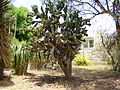 PikiWiki Israel 5474 cactus in the botanucal garden in hasharron.jpg