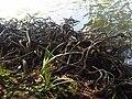 Pinales - Taxodium distichum 4.jpg