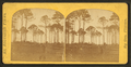 Pine barren, from Robert N. Dennis collection of stereoscopic views.png