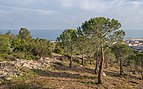 Pine forest of Sète 02.jpg