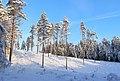 Pine stand near Aegviidu, Jan 2010.jpg