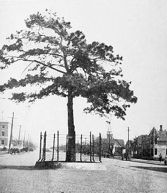 When this street in McAlester was paved in 1916, the city saved this pine tree and built a fence around it Pine tree, McAlester, Oklahoma (1916).jpg