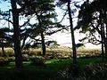Pine trees, Auchencorth Moss. - geograph.org.uk - 72483.jpg