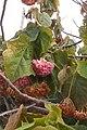 Pink Ball Tree Luz Portugal 04.03.16 (25199834169).jpg