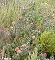 Pink Pincushion (Leucospermum calligerum) (32857233735).jpg