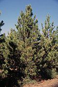 Pinus contorta latifolia tree.jpg