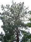 Pinus palustris2.jpg